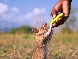 HeroRATs: Rats Who Save Lives