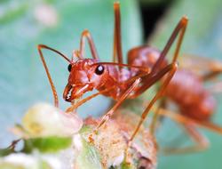 Hormigas increíbles