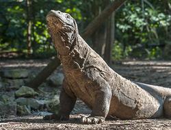 Komodo Dragons: Giant Reptiles
