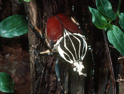 Goliath Beetles: Giant Insects