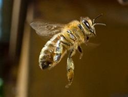 abejas me alimentan, Las