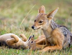 Papás animales