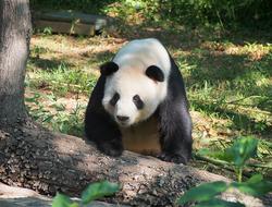 Tian Tian, un panda gigante