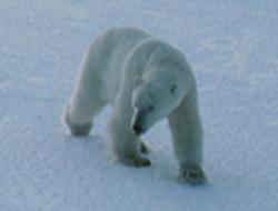 crise de l'ours polaire, La